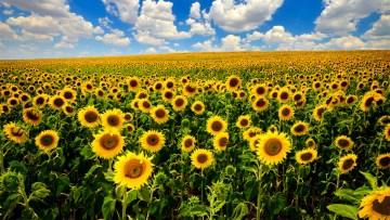 floarea-soarelui de la varicoză