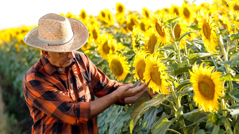 floarea-soarelui de la varicoză)