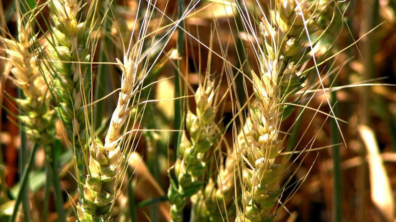 grâu de praf în varicoză